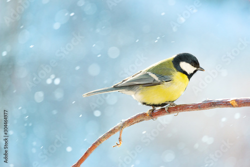 Obraz Great tit on a branch on a sunny winter day. - fototapety do salonu