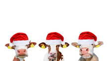 Three Funny Different Cows In Christmas Or Santa Claus Hats.