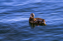 Duck On The Water Cleans Feathers