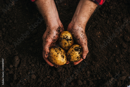 Fototapeta cropped view of farmer holding ripe natural potatoes in ground obraz