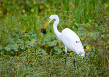 Great White Egret With A Turtl...