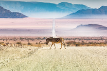 Zebras Crossing The Road, Namibia, Africa