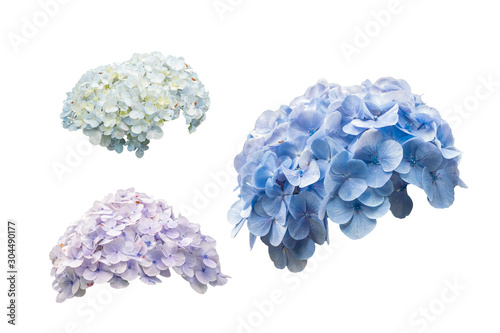 Photographie hydrangea flowers or hortensia flowers isolated on white background