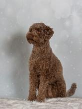Australian Labradoodle On A Christmas Background. Xmas Dog Concept Image.