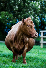 Brown Cow Standing On Farm Pasture