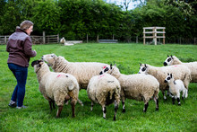Woman Feeding Small Herd Of Kerry Hill Sheep On Farm Pasture