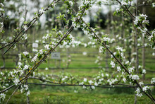 Close Up View Of White Blossoms On Cross Shaped Branches