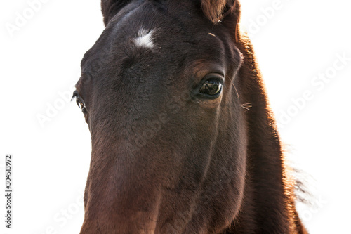 Close up of a bay young horse's face and eyes.