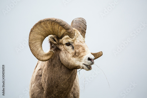 Large bighorn ram with full curl horns chewing grass with mouth open Wallpaper Mural