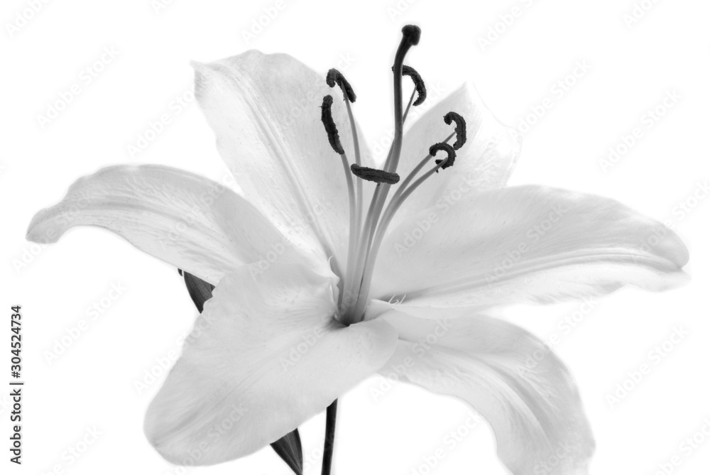 Fototapety, obrazy: white Lilly flower isolated on white