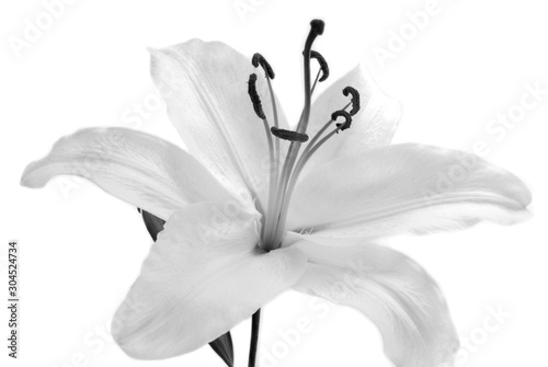 Foto auf AluDibond Blumen white Lilly flower isolated on white