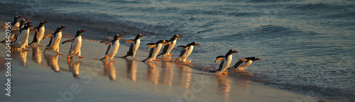 Large number of Gentoo Penguins (Pygoscelis papua) held back from going to sea by a Leopard Seal, out of shot, hunting offshore Bleaker Island in the Falkland Islands Fototapeta