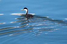 Western Grebes Swimming Amid T...