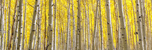 Panoramic Aspen Forest In Gold...