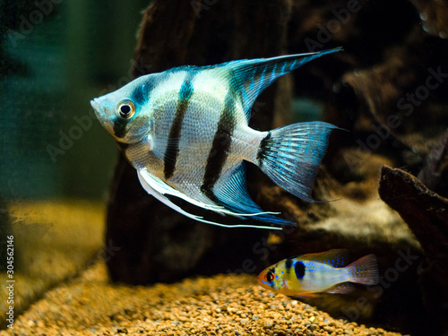 Blue Zebra Angelfish (Pterophyllum scalare) and ram cichlid (Mikrogeophagus rami Canvas Print