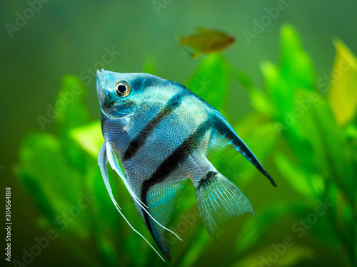 Blue Zebra Angelfish in tank fish (Pterophyllum scalare) Wallpaper Mural
