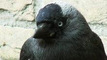 Nice Close Up Of The Jackdaw.