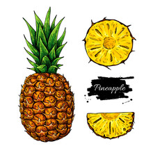 Pineapple Vector Drawing. Tropical Summer Fruit Hand Drawn Illustration.