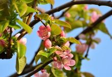 果樹のカリンの花が咲く