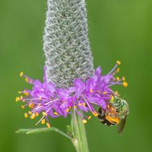 Agapostemon Virescens, Metallic Green Sweat Bee