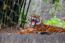 Tiger Yawning With Teeth Showing
