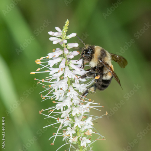 Bombus affinis, rusty patched bumble bee