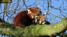 Red Panda Mother Grooming It's...