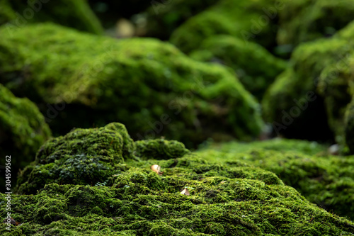 Fototapeta Beautiful Bright Green moss grown up cover the rough stones and on the floor in the forest. Show with macro view. Rocks full of the moss texture in nature for wallpaper. soft focus. obraz