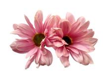 Gerbera Or Dahlia Flower For F...