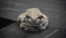 Gray Tree Frog, Smiling, Close...