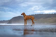 Rhodesian Ridgeback Dog Playing At A Beach On The Oregon Coast
