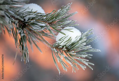Spoed Fotobehang Zalm Coniferous tree branches in the snow in winter