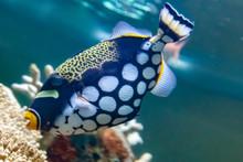 Triggerfish Swimming In Aquarium