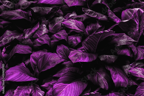 The concept of betel leaves with purple leaves, abstract, tropical leaves, natural background #304653185