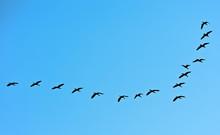 Flock Of Migratory Birds In Th...