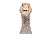 Portrait Of A Funny Pretty Goose, Closeup, Isolated On White Background