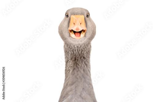 Obraz na plátne Portrait of a funny pretty goose, closeup, isolated on white background