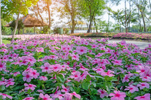 Pink West Indian Perwinkle Petals On Green Glossy Oval Leafs Under The Trees In The Park That Decorate With Flowering Plant, Known As Madagascar Periwinkle, Pinkle-pinkle, Old Maid And Cayenne Jasmine