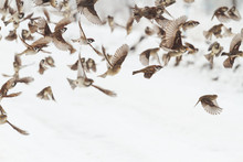 Sparrows Fly Over A Snowy Road