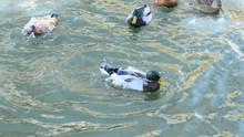 Winter Waterbirds