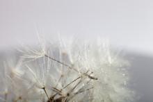 Macro Photo Dandelion Seeds. S...