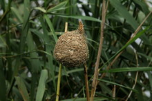 Eastern Golden Weaver Nest Strung Between Two Reed Stalks In A Reedbed.