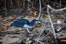 Blue Heron Walking Nature Wild...