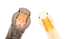 Portrait Of A Funny Goose And Duck, Closeup, Isolated On A White Background