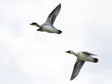 Drake And Female Smews Flying ...