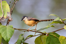 Ashy Prinia Or Ashy Wren-warbler Sits On A Thin Branch Of A Bush. Rear And Side View