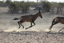 Red Hartebeest On The Run
