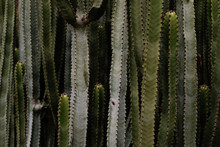 Cacti Forest