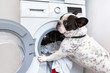 canvas print picture - French bulldog loading dirty laundry to the electric washer