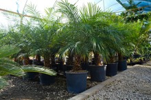 Bunch Of Palm Tree Leaves In Greenhouse. Close Up, Copy Space, Foliage Background.
